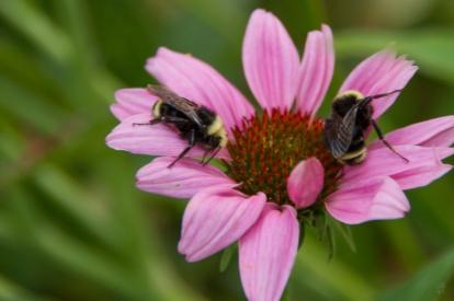 yellow-faced bumblebee8189_sm
