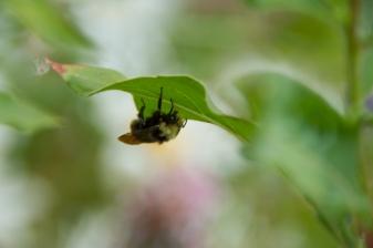 yellow-faced bumblebee8191_sm