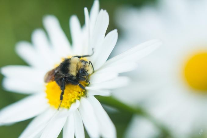 yellow-faced bumblebee8195_sm