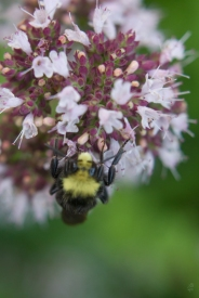 yellow-faced bumblebee8216_sm