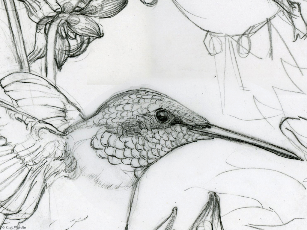SKETCH_hummingbirds_pencil_det1_1024